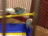 2 попугая склеткой